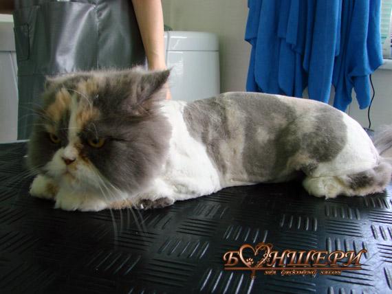 ...салона Боншери - Стриженый кот - Фото.