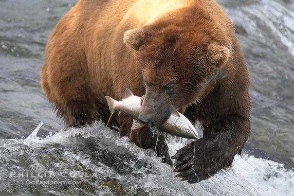 Bear Brown Eating Salmon Wild stock photos  Shutterstock